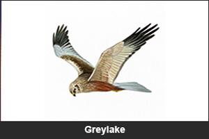 Greylake